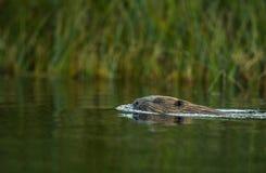 Ευρωπαϊκός κάστορας, ίνα καστόρων, που κολυμπά σε έναν ποταμό στοκ φωτογραφίες