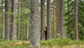 Ευρωπαϊκός καφετής αντέχει στο δάσος Στοκ φωτογραφίες με δικαίωμα ελεύθερης χρήσης