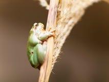 Ευρωπαϊκός κοινός βάτραχος δέντρων στον κάλαμο - arborea Hyla Στοκ εικόνα με δικαίωμα ελεύθερης χρήσης