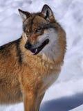 ευρωπαϊκός λύκος Λύκου c Στοκ φωτογραφίες με δικαίωμα ελεύθερης χρήσης