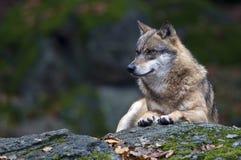 ευρωπαϊκός λύκος Λύκου c στοκ εικόνα με δικαίωμα ελεύθερης χρήσης