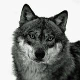 ευρωπαϊκός λύκος Στοκ Φωτογραφίες