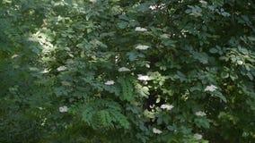Ευρωπαϊκός μαύρος παλαιότερος θάμνος που ανθίζει με τα άσπρα λουλούδια φιλμ μικρού μήκους