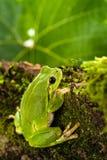 Ευρωπαϊκός πράσινος βάτραχος δέντρων που κρύβεται για το θήραμα στο φυσικό περιβάλλον Στοκ εικόνα με δικαίωμα ελεύθερης χρήσης