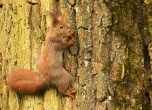 Ευρωπαϊκός σκίουρος σε έναν κορμό δέντρων (Sciurus) Στοκ εικόνα με δικαίωμα ελεύθερης χρήσης