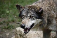 Ευρωπαϊκός λύκος με τα σημαδεμένα αυτιά Στοκ φωτογραφίες με δικαίωμα ελεύθερης χρήσης