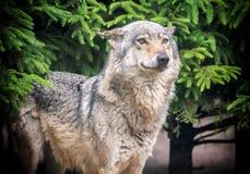 Ευρωπαϊκός λύκος στο δάσος Στοκ Εικόνα