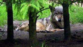 Ευρωπαϊκός λύκος στο δάσος απόθεμα βίντεο