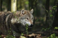 ευρωπαϊκός λύκος στοκ φωτογραφία με δικαίωμα ελεύθερης χρήσης