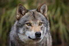 ευρωπαϊκός λύκος Στοκ Εικόνα
