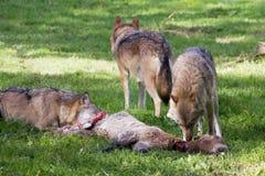 ευρωπαϊκός λύκος Στοκ Εικόνες