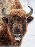 Ευρωπαϊκός bison bonasus βισώνων στο φυσικό βιότοπο το χειμώνα Στοκ εικόνα με δικαίωμα ελεύθερης χρήσης