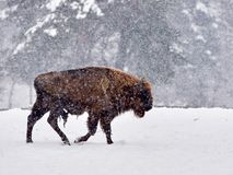 Ευρωπαϊκός bison bonasus βισώνων στο φυσικό βιότοπο στοκ φωτογραφία με δικαίωμα ελεύθερης χρήσης