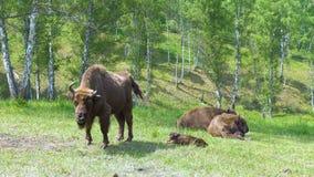 Ευρωπαϊκός bison bonasus βισώνων φιλμ μικρού μήκους