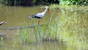 Ευρωπαϊκό άσπρο ciconia πελαργών που κυνηγά τα ψάρια στον ποταμό, ποικιλομορφία φύσης, φιλμ μικρού μήκους