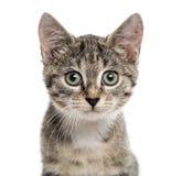 Ευρωπαϊκό γατάκι Shorthair που φαίνεται η κάμερα, που απομονώνεται στο λευκό Στοκ Εικόνες