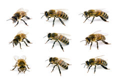 ευρωπαϊκό μέλι μελισσών δ&upsi Στοκ Εικόνες
