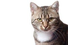 ευρωπαϊκό μέτωπο γατών Στοκ εικόνα με δικαίωμα ελεύθερης χρήσης