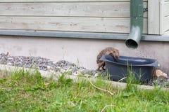 Ευρωπαϊκό νερό βροχής κατανάλωσης σκαντζόχοιρων από έναν κάδο Στοκ Φωτογραφίες