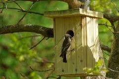 Ευρωπαϊκό παρδαλό flycatcher, θηλυκό Στοκ φωτογραφίες με δικαίωμα ελεύθερης χρήσης