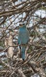 Ευρωπαϊκό πουλί κυλίνδρων στην πέρκα Στοκ φωτογραφίες με δικαίωμα ελεύθερης χρήσης