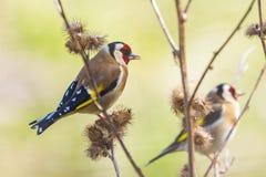 Ευρωπαϊκό πουλί goldfinch, carduelis Carduelis, σκαρφαλωμένα τρώγοντας το s Στοκ Φωτογραφίες