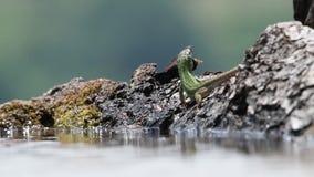 Ευρωπαϊκό πράσινο πόσιμο νερό viridis Lacerta σαυρών μέσα φιλμ μικρού μήκους