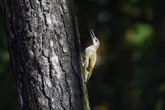 Ευρωπαϊκό πράσινο woodpecke Στοκ Φωτογραφία