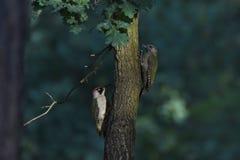 Ευρωπαϊκό πράσινο woodpecke 2 Στοκ Φωτογραφία