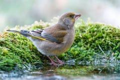 Ευρωπαϊκό πόσιμο νερό greenfinch Στοκ Φωτογραφία