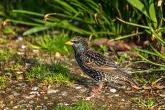 Ευρωπαϊκό ψαρόνι, vulgaris, σκοτεινό πουλί Sturnus Στοκ Εικόνες