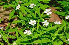 Ευρωπαϊκό ψεύτικο stitchwort (europaea Pseudostellaria) Στοκ φωτογραφία με δικαίωμα ελεύθερης χρήσης