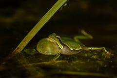 Ευρωπαϊκό arborea Treefrog - Hyla Στοκ Φωτογραφία