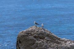 Ευρωπαϊκό argentatus Larus ασημόγλαρων Στοκ φωτογραφία με δικαίωμα ελεύθερης χρήσης