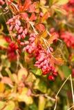 Ευρωπαϊκό barberry Στοκ φωτογραφίες με δικαίωμα ελεύθερης χρήσης