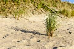 Ευρωπαϊκό beachgrass Στοκ φωτογραφίες με δικαίωμα ελεύθερης χρήσης