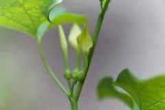 Ευρωπαϊκό clematitis Birthwort Aristolochia Στοκ φωτογραφία με δικαίωμα ελεύθερης χρήσης
