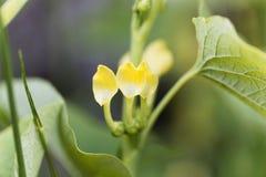 Ευρωπαϊκό clematitis Birthwort Aristolochia Στοκ εικόνα με δικαίωμα ελεύθερης χρήσης