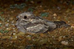 Ευρωπαϊκό europaeus Nightjar Caprimulgus στοκ φωτογραφίες με δικαίωμα ελεύθερης χρήσης