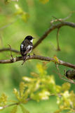 ευρωπαϊκό flycatcher παρδαλό Στοκ Φωτογραφία