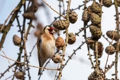 Ευρωπαϊκό goldfinch που σκαρφαλώνει στον κλαδίσκο αγριόπευκων με τους κώνους στοκ φωτογραφίες με δικαίωμα ελεύθερης χρήσης