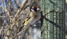 Ευρωπαϊκό Goldfinch στον τροφοδότη κήπων Στοκ Φωτογραφίες