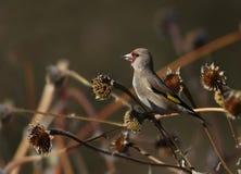 Ευρωπαϊκό goldfinch στοκ φωτογραφίες με δικαίωμα ελεύθερης χρήσης