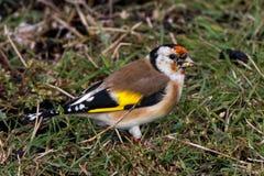 ευρωπαϊκό goldfinch Στοκ εικόνες με δικαίωμα ελεύθερης χρήσης
