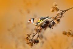 Ευρωπαϊκό Goldfinch, carduelis Carduelis, που κάθεται στον κάρδο, Sumava, Τσεχία, αρσενικό γκρίζο Songbird με το πράσινο και κίτρ στοκ φωτογραφία με δικαίωμα ελεύθερης χρήσης