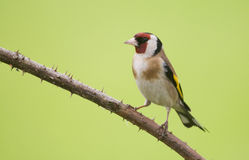Ευρωπαϊκό Goldfinch (carduelis Carduelis) στοκ εικόνα