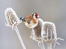 Ευρωπαϊκό Goldfinch (carduelis Carduelis) Στοκ φωτογραφία με δικαίωμα ελεύθερης χρήσης
