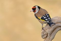 Ευρωπαϊκό Goldfinch (carduelis Carduelis) στοκ φωτογραφία