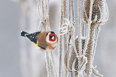 Ευρωπαϊκό Goldfinch (carduelis Carduelis) Στοκ Φωτογραφίες