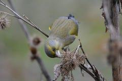 ευρωπαϊκό greenfinch στοκ φωτογραφία με δικαίωμα ελεύθερης χρήσης